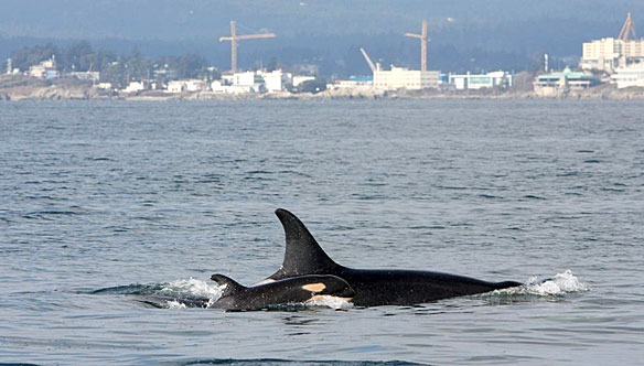 The Orca whale (aka Killer Whale) has become the unofficial symbol of Vancouver. Several large pods live year-round in the surrounding waters, and residents and whales have learned to live relatively well with each other.