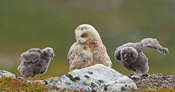 The Snowy Owl is an endangered species and one of the great birds of Nunavut.