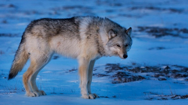 Arctic wolves are making a comeback in the Northwest Territories and Nunavut.