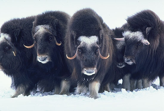 One of Nunavut's strangest beasts is the Muskox, which travel in vast herds across the snowy wasteland.
