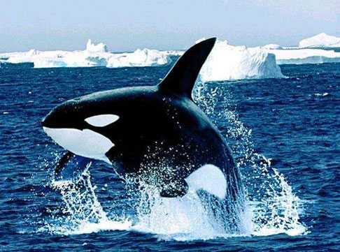 Orcas (or killer whales) follow the seals north during the spring and summer and ply the coastal waters of Nunavut.