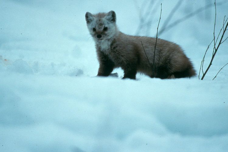 The snowy fox is a common visitor to people's homes in Nunavut.