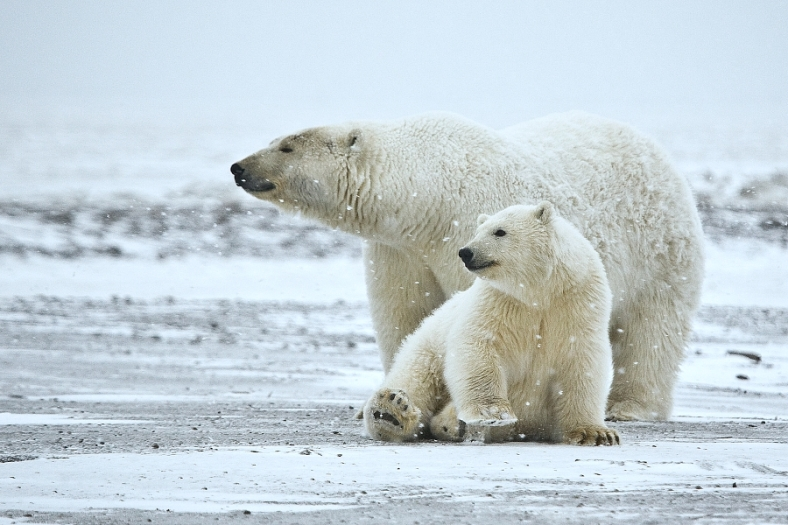 Polar Bears are Nunavut's most famous animals and are featured in much of Nunavut's cultural art and icons.